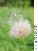 Бодяк полевой, или розовый осот (лат. Cirsium arvense) после цветения. Стоковое фото, фотограф Елена Коромыслова / Фотобанк Лори