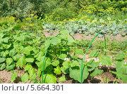 Купить «Огород на дачном участке», эксклюзивное фото № 5664301, снято 6 июля 2013 г. (c) Елена Коромыслова / Фотобанк Лори