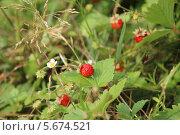 Спелые ягоды земляники в лесу. Стоковое фото, фотограф Александр Пьянков / Фотобанк Лори