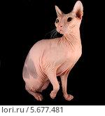 Канадский сфинкс, породистый кот, лысый кот. Стоковое фото, фотограф Амелия Дадабаева / Фотобанк Лори
