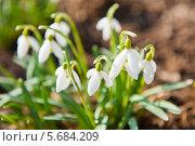 Кустик подснежников - первые весенние цветы. Стоковое фото, фотограф E. O. / Фотобанк Лори