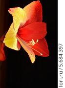 Купить «Красный Амариллис  на чёрном фоне», фото № 5684397, снято 8 марта 2014 г. (c) александр жарников / Фотобанк Лори