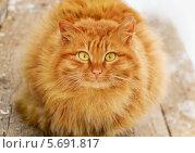 Купить «Рыжий кот», фото № 5691817, снято 17 февраля 2014 г. (c) Антон Стариков / Фотобанк Лори
