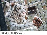 Купить «Красивый белый тигр в клетке в зоопарке», фото № 5692201, снято 26 августа 2013 г. (c) Losevsky Pavel / Фотобанк Лори