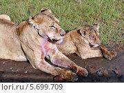 Львица с детенышем отдыхает возле дороги, лапы, морда и шерсть самки льва запачканы кровью убитого животного (2008 год). Стоковое фото, фотограф Владимир Григорьев / Фотобанк Лори