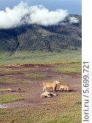 Семья диких африканских львов в чаше кратера вулкана Нгоронгоро, львицы и львята в национальном парке (2008 год). Стоковое фото, фотограф Владимир Григорьев / Фотобанк Лори