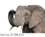 Слон. Изолировано на белом фоне. Стоковое фото, фотограф E. O. / Фотобанк Лори