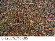 Разгрызенные белками сосновые шишки на лесной подстилке. Стоковое фото, фотограф Юрий Дюндин / Фотобанк Лори