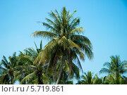 Кокосовая пальма. Стоковое фото, фотограф Александр Первунин / Фотобанк Лори
