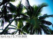 Пальмы с кокосами. Стоковое фото, фотограф Александр Первунин / Фотобанк Лори