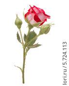 Купить «Красная роза с бутонами», фото № 5724113, снято 21 июня 2013 г. (c) Natalja Stotika / Фотобанк Лори