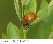 Купить «Коричневый жук на зеленом листе», фото № 5731617, снято 22 июля 2012 г. (c) Олег Рубик / Фотобанк Лори