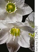 Купить «Цветы Амазонской лилии в брызгах воды крупным планом», фото № 5734797, снято 16 марта 2013 г. (c) Ольга Денисова / Фотобанк Лори