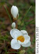 Купить «Ранняя весна. Крокусы (Crocus)», эксклюзивное фото № 5735097, снято 22 марта 2014 г. (c) Svet / Фотобанк Лори