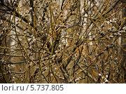 Верба. Стоковое фото, фотограф Сергей Филиппов / Фотобанк Лори