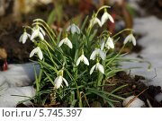 Купить «Подснежники», фото № 5745397, снято 22 марта 2014 г. (c) Natalya Sidorova / Фотобанк Лори
