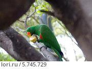 Зеленый попугай на дереве ест кукурузу. Стоковое фото, фотограф Светлана Пальцева / Фотобанк Лори