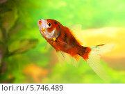 Шубункин ситцевый (Carassius gibelio forma auratus) Стоковое фото, фотограф Елена Кутепова / Фотобанк Лори