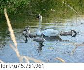 Лебедь-мама. Стоковое фото, фотограф Jakob Sergejew / Фотобанк Лори