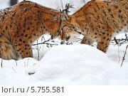 Купить «Две романтичные рыси трутся друг о друга», фото № 5755581, снято 22 января 2014 г. (c) Эдуард Кислинский / Фотобанк Лори