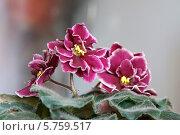 Купить «Комнате растения фиалки», фото № 5759517, снято 28 марта 2014 г. (c) Зацепина Галина / Фотобанк Лори
