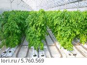 Купить «Выращивание помидоров в промышленной теплице», эксклюзивное фото № 5760569, снято 29 марта 2014 г. (c) Елена Коромыслова / Фотобанк Лори