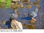 Купить «Голуби на речных камнях», эксклюзивное фото № 5768453, снято 25 августа 2013 г. (c) Елена Коромыслова / Фотобанк Лори