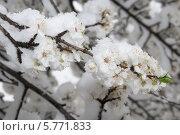 Купить «Ветка цветущей яблони покрытая снегом», фото № 5771833, снято 29 марта 2014 г. (c) Игорь Дашко / Фотобанк Лори