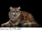 Сибирская кошка на черном фоне. Стоковое фото, фотограф Ирина Еськина / Фотобанк Лори
