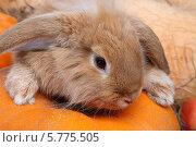 Рыжий кролик. Стоковое фото, фотограф Ирина Еськина / Фотобанк Лори