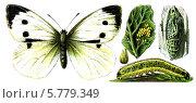 Купить «Насекомое вредитель Капустница, или белянка капустная. Иллюстрация 1910 года», иллюстрация № 5779349 (c) Sergey Kohl / Фотобанк Лори