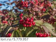 Купить «Ветка красной калины», фото № 5779957, снято 14 сентября 2013 г. (c) Александр Самолетов / Фотобанк Лори