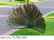 Дубай. Павлин в парке. Стоковое фото, фотограф Семёнов Марк / Фотобанк Лори