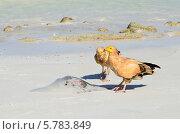 Купить «Стервятники (Neophron Percnopterus) клюют ската на берегу Аравийского моря», фото № 5783849, снято 23 марта 2014 г. (c) Овчинникова Ирина / Фотобанк Лори