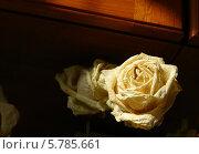 Натюрморт с бежевой розой на тёмном фоне. Стоковое фото, фотограф Вячеслав Сапрыкин / Фотобанк Лори