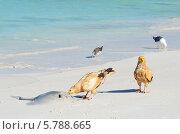 Купить «Стервятники (Neophron Percnopterus) клюют ската на берегу Аравийского моря», фото № 5788665, снято 23 марта 2014 г. (c) Овчинникова Ирина / Фотобанк Лори