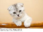 Купить «Вислоухий шотландский котенок», фото № 5796813, снято 15 января 2014 г. (c) Ксения Крылова / Фотобанк Лори