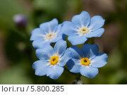 Купить «Цветы незабудки (Myosótis)», фото № 5800285, снято 2 мая 2013 г. (c) Игорь Дашко / Фотобанк Лори
