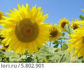 Солнечные, яркие, жёлтые подсолнухи на фоне голубого неба. Стоковое фото, фотограф Мартынова Наталия / Фотобанк Лори