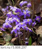 Купить «Печёночница (лат. Hepatica nobilis)», фото № 5808297, снято 21 апреля 2012 г. (c) ИВА Афонская / Фотобанк Лори