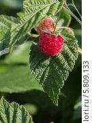 Купить «Ягода красной малины на фоне зеленого листа», фото № 5809133, снято 3 июля 2012 г. (c) Александр Самолетов / Фотобанк Лори