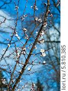 Купить «Весеннее небо. Цветы вишни ( Prunus serrulata )», эксклюзивное фото № 5810385, снято 13 апреля 2014 г. (c) Svet / Фотобанк Лори
