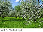 Цветущий яблоневый сад, Коломенское (2010 год). Стоковое фото, фотограф Людмила Герасимова / Фотобанк Лори