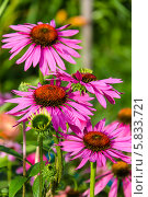 Купить «Эхинацея пурпурная», фото № 5833721, снято 18 июля 2013 г. (c) Ольга Сейфутдинова / Фотобанк Лори