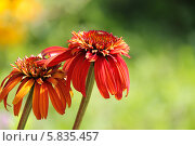 Купить «Эхинацея красная», фото № 5835457, снято 28 июля 2012 г. (c) Ольга Сейфутдинова / Фотобанк Лори