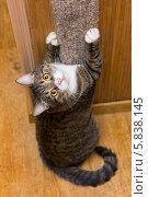 Купить «Кот царапает когтеточку и смотрит вверх», фото № 5838145, снято 20 апреля 2014 г. (c) Okssi / Фотобанк Лори