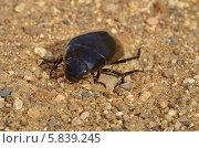 Купить «Жук-плавунец (лат. Dytiscidae) на песке», эксклюзивное фото № 5839245, снято 21 апреля 2014 г. (c) Елена Коромыслова / Фотобанк Лори