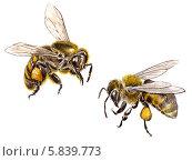 Купить «Западные медоносные пчелы», иллюстрация № 5839773 (c) Александра Панаиотиди / Фотобанк Лори