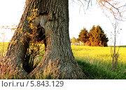 Внутри дуба, в пустоте, прорастает новое дерево. Стоковое фото, фотограф Вадим Келин / Фотобанк Лори
