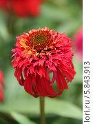 Купить «Эхинацея красная», фото № 5843913, снято 4 августа 2012 г. (c) Ольга Сейфутдинова / Фотобанк Лори